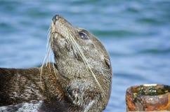 澳大利亚海狗 免版税库存照片