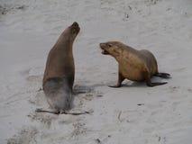 澳大利亚海狮 免版税库存图片