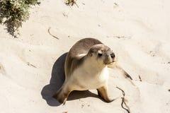 澳大利亚海狮Neophoca灰质在坎加鲁岛海岸线,南澳大利亚 库存照片