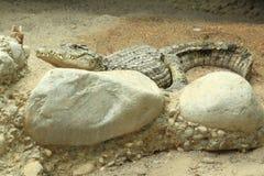 澳大利亚淡水鳄鱼 免版税库存照片