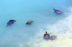 澳大利亚淡水乌龟 免版税库存图片
