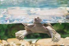 澳大利亚淡水乌龟 库存图片