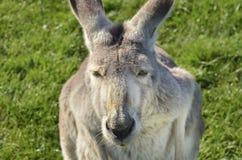 澳大利亚灰色袋鼠凝视平直的后面特写镜头  免版税库存图片