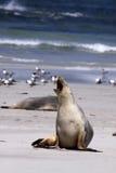 澳大利亚灰质的狮子neophoca海运 免版税库存照片