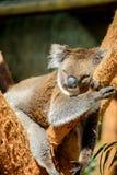 澳大利亚熊考拉 免版税库存照片