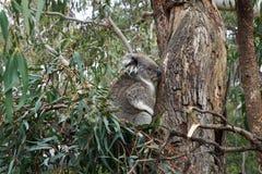 澳大利亚熊考拉 免版税图库摄影