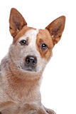 澳大利亚牛外套狗红色 免版税图库摄影