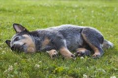 澳大利亚牛尾随放松在草的小狗 免版税图库摄影