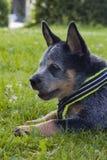 澳大利亚牛尾随放松在草的小狗 免版税库存图片