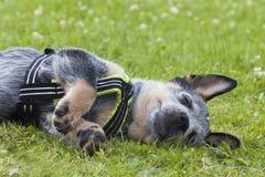 澳大利亚牛尾随放松在草的小狗 库存图片