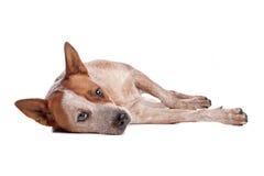 澳大利亚牛涂上狗红色 免版税库存图片