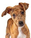 澳大利亚牛狗小狗混合特写镜头 库存图片