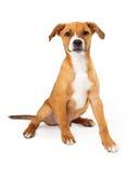 澳大利亚牛狗小狗混合Tan颜色 免版税图库摄影