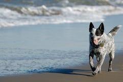 澳大利亚牛狗运行中 免版税库存照片