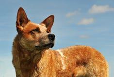 澳大利亚牛狗 免版税库存图片