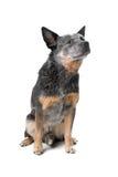 澳大利亚牛狗 免版税图库摄影