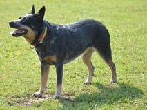 澳大利亚牛狗 免版税库存照片