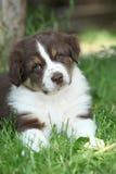 澳大利亚牧羊人华美的小狗  库存照片
