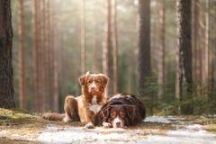 澳大利亚牧羊人和新斯科舍鸭子敲的猎犬 库存图片