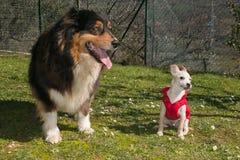 澳大利亚牧羊人和白色滑稽的小狗开掘闪光他的眼睛 免版税库存照片
