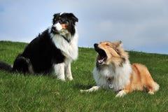 澳大利亚牧羊人和美国大牧羊犬 免版税库存图片