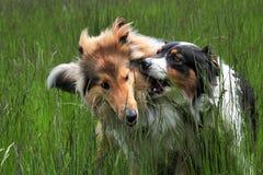 澳大利亚牧羊人和美国大牧羊犬 免版税库存照片