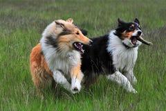 澳大利亚牧羊人和美国大牧羊犬 图库摄影