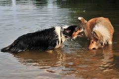 澳大利亚牧羊人和美国大牧羊犬 库存图片