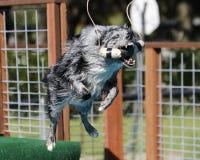 澳大利亚牧羊人在天空中的劫掠一个玩具 免版税库存照片