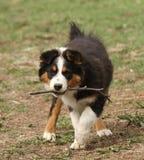 澳大利亚牧羊人小狗用棍子 库存图片