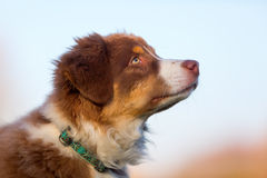 澳大利亚牧羊人小狗的顶头画象 库存图片