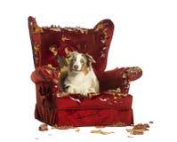 澳大利亚牧羊人小狗, 10个月,说谎在一把detroyed扶手椅子 免版税库存图片