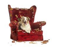 澳大利亚牧羊人小狗, 10个月,说谎在一把detroyed扶手椅子 库存图片