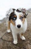 澳大利亚牧羊人小狗 免版税库存图片