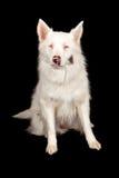 澳大利亚牧羊人抢救狗 免版税库存图片