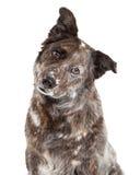 澳大利亚牧羊人混合品种狗特写镜头  库存照片