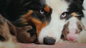 澳大利亚牧羊人的画象有小狗的 小狗紧贴到母亲的枪口 有动物的逗人喜爱的录影 影视素材
