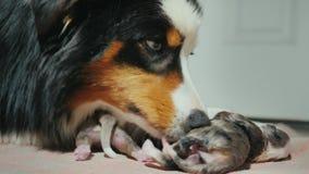 澳大利亚牧羊人的画象,轻轻地舔一只最近出生的小狗 子孙的关心 影视素材