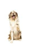 澳大利亚牧羊犬在白色背景中 免版税库存照片