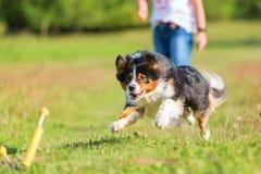 澳大利亚牧羊犬跑检索玩具 免版税库存图片