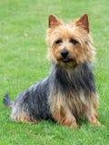 澳大利亚狗在庭院里 免版税库存图片