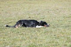 澳大利亚狗牧羊人 免版税库存图片