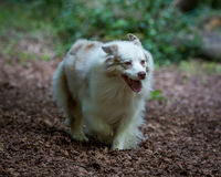 澳大利亚狗牧羊人 免版税库存照片