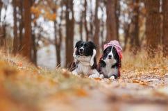 澳大利亚狗牧羊人 库存图片