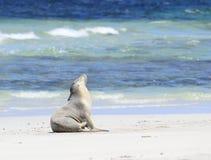 澳大利亚狮子海运 免版税库存图片