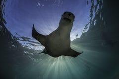 澳大利亚狮子海运 免版税库存照片