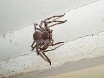 澳大利亚猎人蜘蛛 免版税库存照片