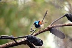 澳大利亚男性杂色的神仙的鹪鹩(Malurus lamberti) 免版税库存照片