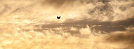 澳大利亚白色在日落的朱鹭飞行过去金黄暴风云 免版税库存照片