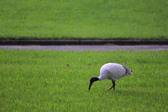 澳大利亚白色朱鹭鸟 库存图片